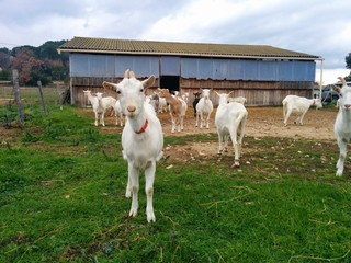 Chèvres dans un enclos