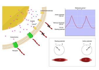 meccanismo contrazione nervosa, neurotrasmettitori