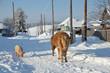 Leinwanddruck Bild - Сельская жизнь, корова со свиньей на улице зимой