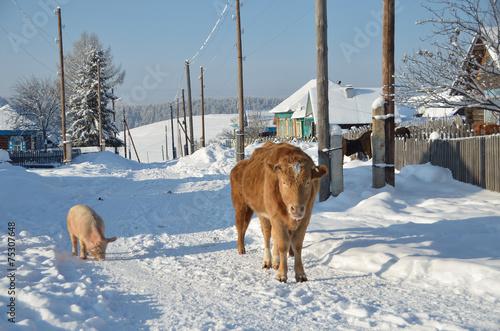 Leinwanddruck Bild Сельская жизнь, корова со свиньей на улице зимой