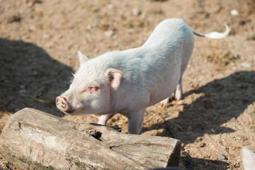 Hausschwein