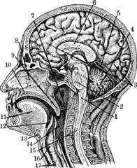 Vintage graphic head anatomy