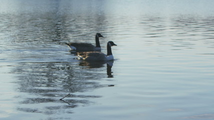 Four Canada Geese floating by in a lake