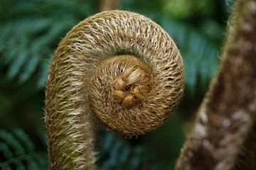 やんばるの森林・ヒカゲへゴの新芽