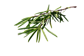 cloose-up rosemary  branch  isolated on a  white background