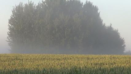 summer morning farmland wheat field and mist fog