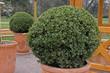 Buis, Buxus sempervirens