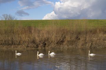 swans in sava-odra channel