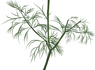 illustration with green dill isolated on white