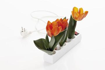 Tulip Blumen in Steckdose auf weißem Hintergrund