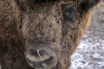 Portrait of bison. Sharpness on eyes. tinted