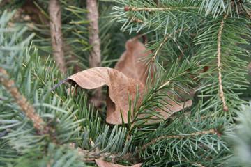 Autumn fallen dead leaf on the spruce