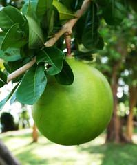 Close up of Calabash Fruit on Crescentia Cujete tree