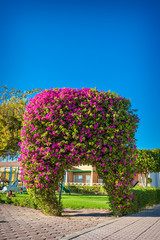 exotic arch of flowers bougainvillea