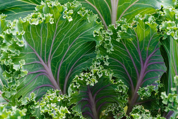 Decorative garden cabbage