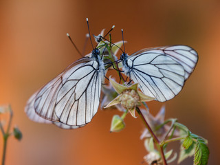 Three butterflie