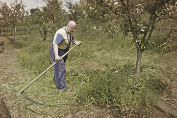Old peasant mowing grass on traditional way with scythe