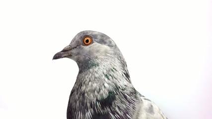 portrait pigeon
