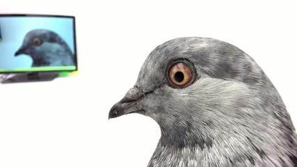 pigeon with an izbrazheniye in the monitor