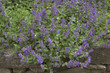 Stachys grandiflora, Epaire