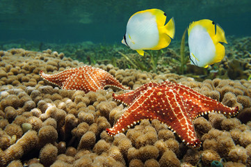 Starfish underwater over coral with butterflyfish