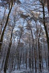 Hohe Baumstämme in Winterlandschaft