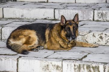Cane lupo sui gradini