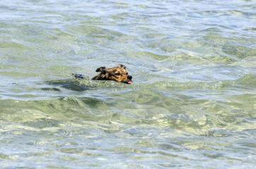 Cane che nuota in mare