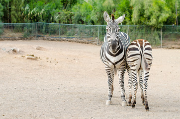 Couple of zebras posing outdoors