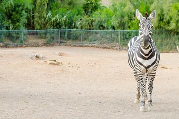 Zebra posing outdoors