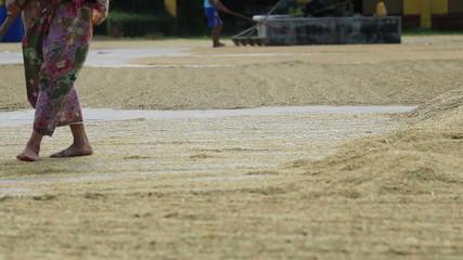 Farmer working, drying rice seed on field.