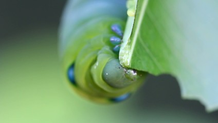 Worm eat green tea leaf 2