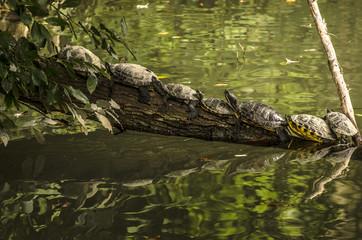 Tartarughe acquatiche in fila sul tronco