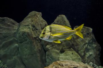Pesce giallo a strisce