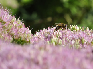 bee foraging on Hylotelephium spectabile