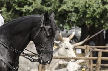 Cavallo maremma