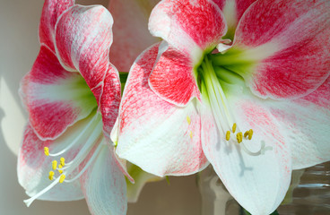 Red with white Amaryllis flowers