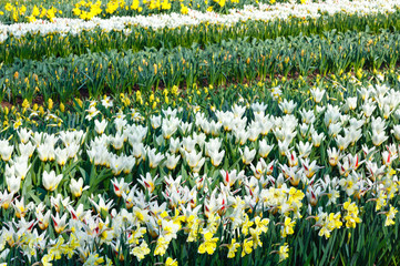 Beautiful white tulips and narcissus.
