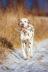 happy dalmatian dog outdoors in winter