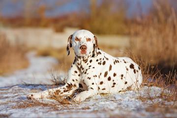 dalmatian dog outdoors in winter