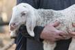 Leinwanddruck Bild - lamb with shepherd