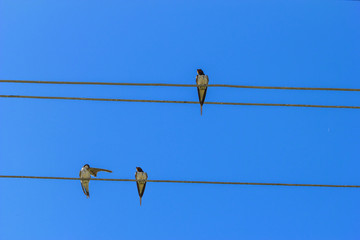 Swallows on the wires.