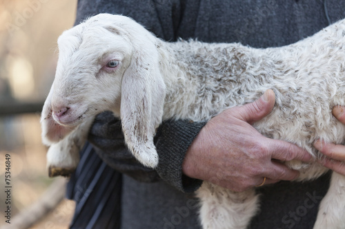 Canvas Schapen lamb with shepherd