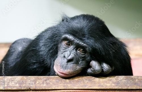 Foto op Canvas Aap chimp chimpanzee monkey ape (Pan troglodytes or common chimpanzee) chimp looking sad and thoughtful