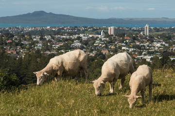 sheep grazing on hill above Auckland