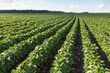 Rows of young soybean plants - 75352054