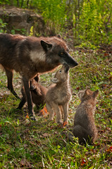 Grey Wolf Pups (Canis lupus) Licks Mother While Another Pup Watc
