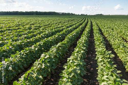 Fotobehang Planten Rows of young soybean plants