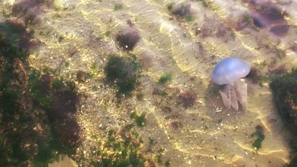 Jellyfish in Sea