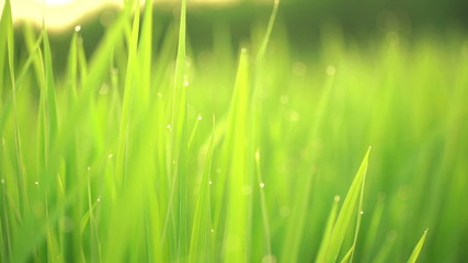 Close up of rice grass with dew